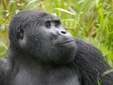 Mountain Gorilla Sitting in Grass at Edge of Rainforest, Bwindi Impenetrable National Park, Uganda Photographic Print by Paul Souders