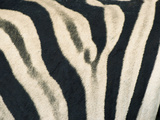 Detail of Plains Zebra (Equus Burchelli) Striped Coat, Etosha National Park, Namibia, Africa Photographic Print by Paul Souders