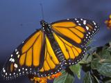 Monarch on Lantana, Florida, Usa Photographic Print by Maresa Pryor