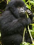 Mountain Gorilla of the Umubano Group at Volcanoes Np in the Virungas Feeds on Wild Celery, Rwanda Photographic Print by Ralph H. Bendjebar