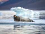 Bearded Seal Resting on Sea Ice Along Lomfjorden at Sunset, Spitsbergen Island, Svalbard, Norway Photographic Print by Paul Souders