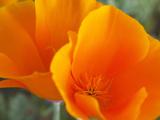 Poppies, Antelope Valley Near Lancaster, California, Usa Photographic Print by Jamie & Judy Wild
