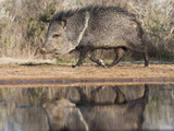 Adult Reflected in Pond, Pecari Tajacu, Collared Peccary, Starr Co., Texas, Usa Photographic Print by Larry Ditto
