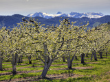 Apple Orchard in Bloom, Dryden, Chelan County, Washington, Usa Photographic Print by Jamie & Judy Wild