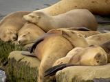 Sleeping Sea Lions, La Jolla, California, Usa Photographic Print by Rob Sheppard