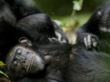 Chimpanzees (Pan Troglodytes) Resting in Rainforest Clearing, , Kibale Forest Reserve, Uganda Fotografisk tryk af Paul Souders