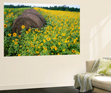 Hay Bale in Sunflowers Field, Bluegrass Region, Kentucky, Usa Wall Mural by Adam Jones