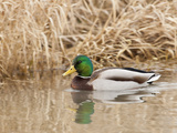 Mallard Drake (Anas Plathyrnhynchos), Basket Slough National Wildlife Refuge, Oregon, Usa Photographic Print by Rick A. Brown