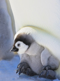 Emperor Penguin (Aptenodytes Forsteri) Chick on Parent's Feet on Ice, Snow Hill Island, Antarctica Photographic Print by Keren Su