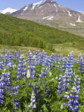Scenic Landscape of Lupin and Snow-Capped Mountains in Northern Iceland, Forest, Iceland Photographic Print by Joan Loeken