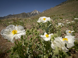 Prickly Poppy in Eastern Sierras Near Independence and Onion Valley, California, Usa Photographic Print by Rob Sheppard