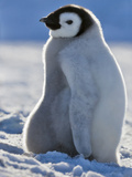 Emperor Penguin (Aptenodytes Forsteri) Chick on Snow Hill Island, Antarctica Photographic Print by Keren Su