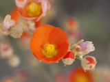 Globemallow or Apricot Mallow, Mojave National Preserve, California, Usa Photographic Print by Jamie & Judy Wild
