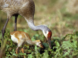 Wild Sandhill Crane with Days Old Chick (Grus Canadensis), Myakka River State Park, Florida, Usa Photographic Print by Maresa Pryor