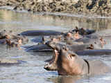 Hippo Bearing Teeth in Hippo Pool, Katavi, Tanzania Photographic Print by Daniel Schreiber