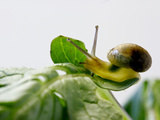 Garden Snail on Radish, California, Usa Photographic Print by Rob Sheppard