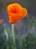 Poppy Close Up, Antelope Valley Near Lancaster, California, Usa Photographic Print by Jamie & Judy Wild