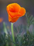 Poppy Close Up, Antelope Valley Near Lancaster, California, Usa Photographic Print by Jamie & Judy Wild