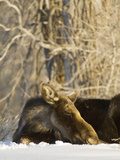 Female Moose, Jackson Hole, Wyoming, Usa Photographic Print by Daniel Schreiber