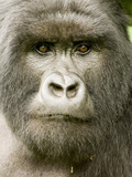 Mountain Gorilla in Volcanoes National Park, Virunga Mountains, Rwanda, Africa Photographic Print by Daniel Schreiber