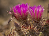 Hedgehog Cactus in Bloom, Mojave National Preserve, California, Usa Photographic Print by Rob Sheppard