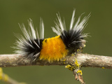 Spotted Tussock Moth Caterpillar, Lophocampa Maculata, British Columbia, Canada Photographic Print by Paul Colangelo