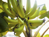 Inside of Parque Tayrona, Bananas in the Rain Forest, Taganga, Colombia Photographic Print by Micah Wright