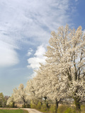 Crabapple Trees in Full Bloom, Louisville, Kentucky, Usa Photographic Print by Adam Jones