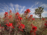 Desert Paintbrush Blooming in Front of Joshua Tree, Mojave National Preserve, California, Usa Photographic Print by Rob Sheppard
