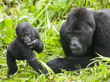 Mountain Gorilla Stands Beside Silverback, Bwindi Impenetrable National Park, Uganda Photographic Print by Paul Souders