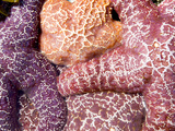 Purple Sea Stars, Long Beach, Pacific Rim National Park Reserve, Tofino, Vancouver Island, Canada Photographic Print by Paul Colangelo