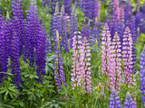 Lupine Wildflowers Near Lubec, Maine, Usa Stampa fotografica di Chuck Haney