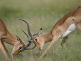 Impala Sparring in Tall Grass Savuti Marsh During Rainy Season, Chobe National Park, Botswana Photographic Print by Paul Souders