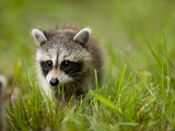 Young Raccoon Walking in Grass, Summer Evening, Assateague Island National Seashore, Maryland, Usa Fotografisk tryk af Paul Souders