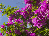 Morning Sun Lights Bougainvillea Flowers Inside Fort Jesus, Mombasa, Kenya Photographic Print by Paul Souders