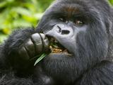 Silverback Mountain Gorilla, Volcanoes National Park, Virungas, Charles, Rwanda Fotografisk trykk av Ralph H. Bendjebar