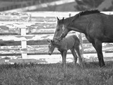 Female Thoroughbred and Foal, Donamire Horse Farm, Lexington, Kentucky Photographic Print by Adam Jones