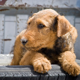 An Airedale Puppy Photographic Print by Zandria Muench Beraldo