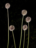 Elephant Garlic, Northern California, Usa Photographic Print by Paul Colangelo