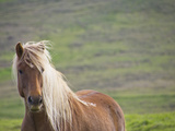Islandic Horse with Flowing Light Colored Mane, Iceland Lámina fotográfica por Joan Loeken