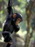 Young Chimpanzee Male, Gombe National Park, Tanzania Photographic Print by Kristin Mosher