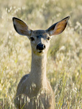 Mule Deer, Odocoileus Hemionus, Ucsc Campus Natural Reserve, Santa Cruz, California, Usa Photographic Print by Paul Colangelo