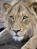 Young Male Lion Stays Alert While Stalking, Africa Photographic Print by Tom Norring