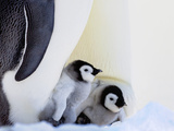 Emperor Penguin (Aptenodytes Forsteri) Chicks on Parents' Feet on Ice, Snow Hill Island, Antarctica Photographic Print by Keren Su
