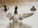 Mallard Drake Flapping after Bathing, Baskett Slough National Wildlife Refuge, Oregon, Usa Photographic Print by Rick A. Brown