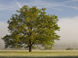 Tree at Sunrise, Cades Cove, Great Smoky Mountains National Park, Tennessee, Usa Photographic Print by Adam Jones