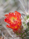 Flowering Claret Cup Cactus, Joshua Tree National Park, California, Usa Photographic Print by Jamie & Judy Wild