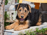 An Airedale Puppy Lying Down on Wooden Plank Stairs Photographic Print by Zandria Muench Beraldo