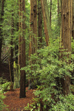 Muir Woods National Monument, Redwood Forest, California, Usa Wall Mural – Large par Gerry Reynolds