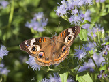 Common Buckeye (Junonia Coenia) Nectaring on Mist Flowers, Hidalgo Co., Texas, Usa Photographic Print by Larry Ditto